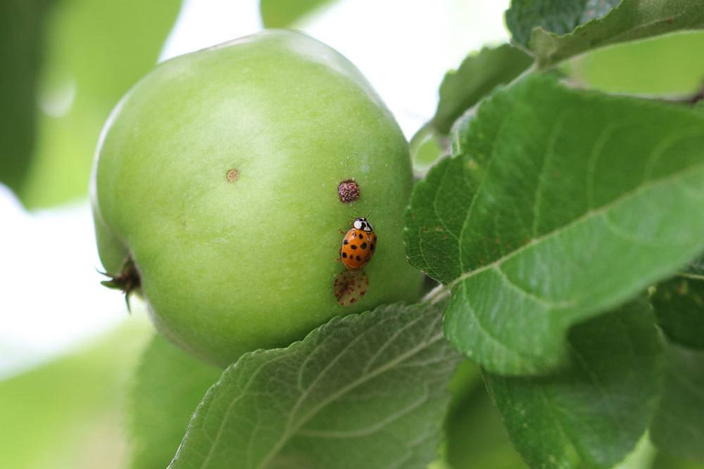 grüne Apfelfrucht am Apfelbaum