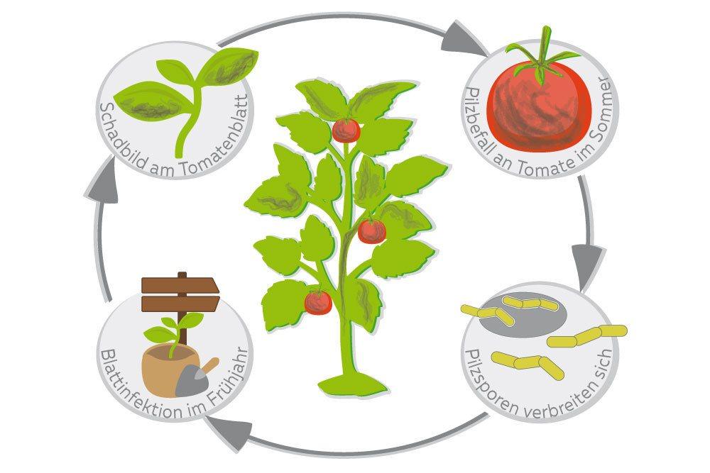Entstehung der Krautfäule/Braunfäule an Tomaten