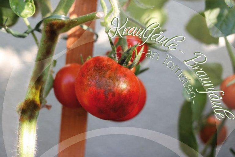 Krautfäule, Braunfäule an Tomaten