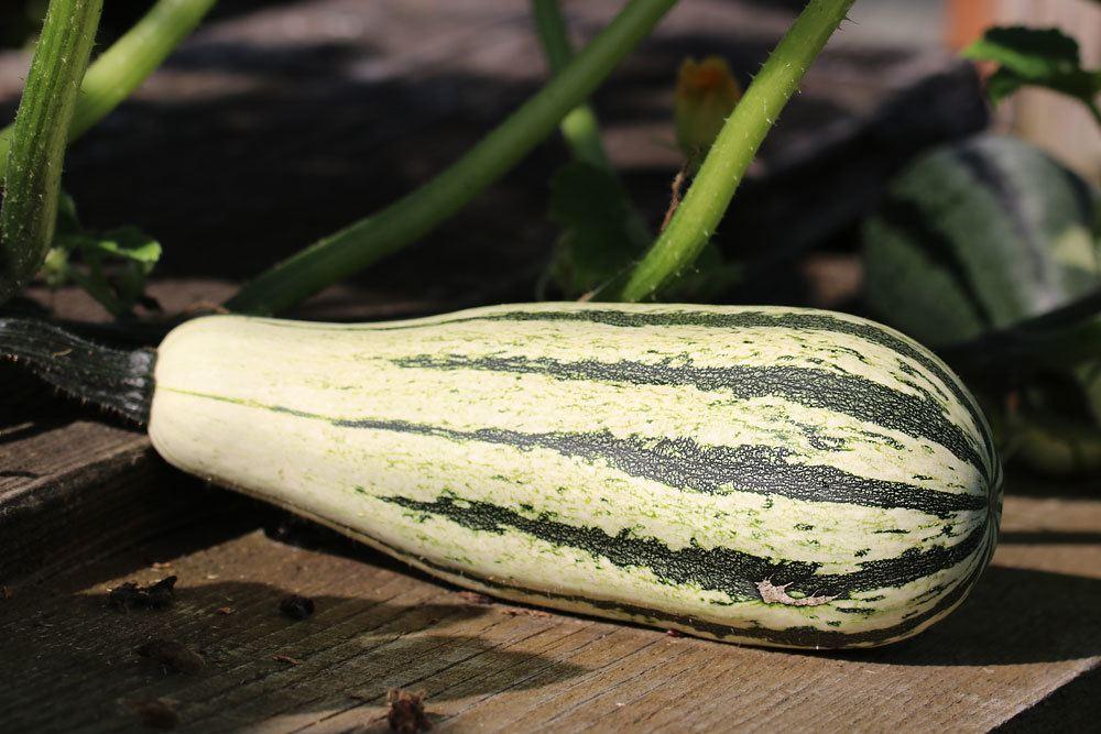 länglicher, weißer Kürbis mit grünen Streifen