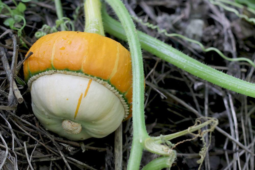weiß-orangefarbener Kürbis im Gartenbeet