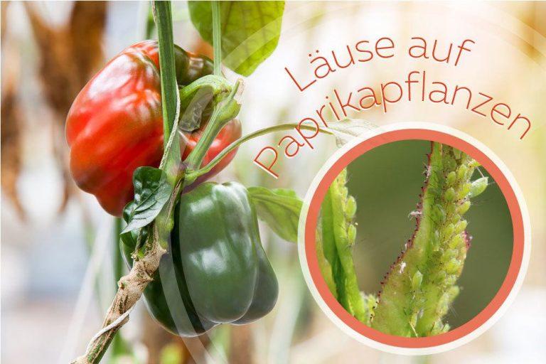 Läuse auf Paprikapflanzen