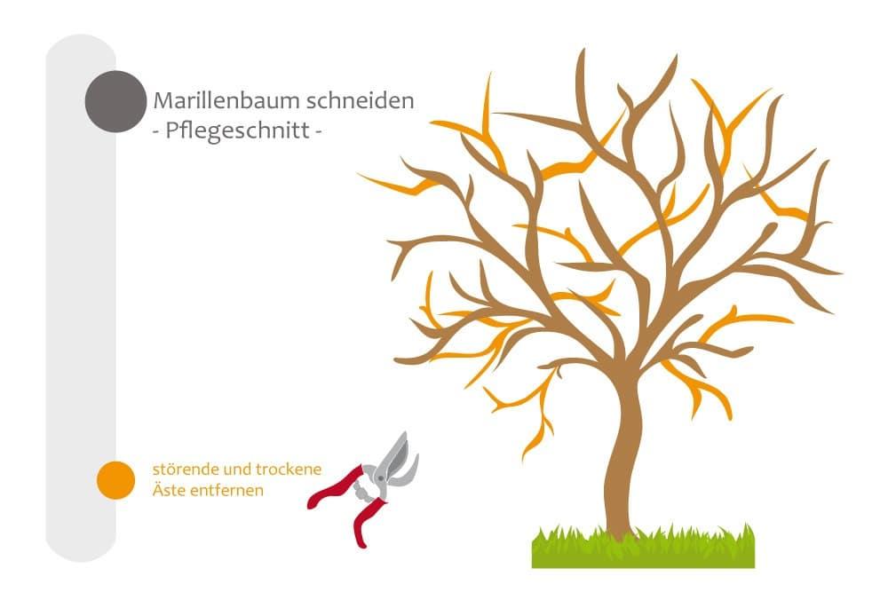 Marillenbaum - Pflegeschnitt, störende und trockene Äste abschneiden