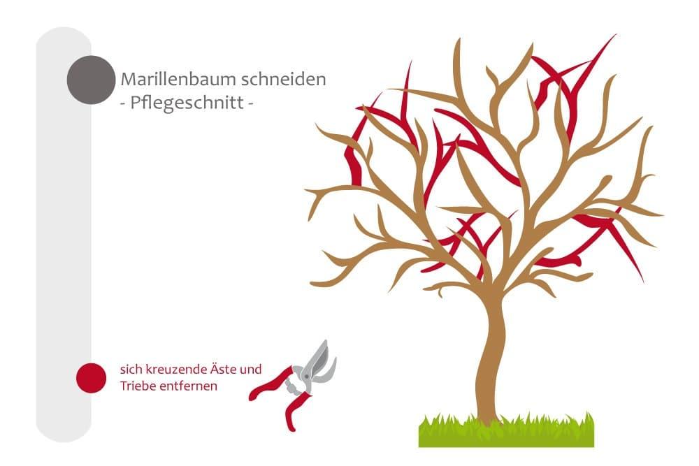 Marillenbaum - Pflegeschnitt, sich kreuzende Äste entfernen