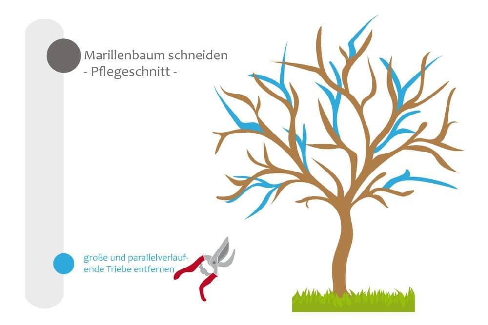 Marillenbaum - Pflegeschnitt, große, parallelverlaufende Triebe entfernen