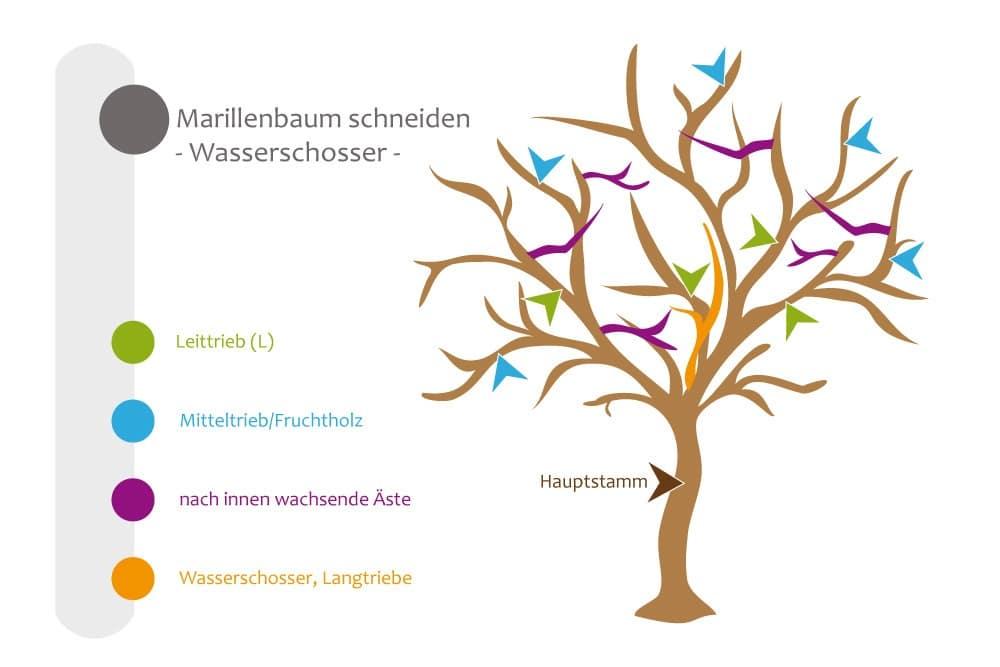 Marillenbaum - Pflegeschnitt, Wasserschosse beseitigen