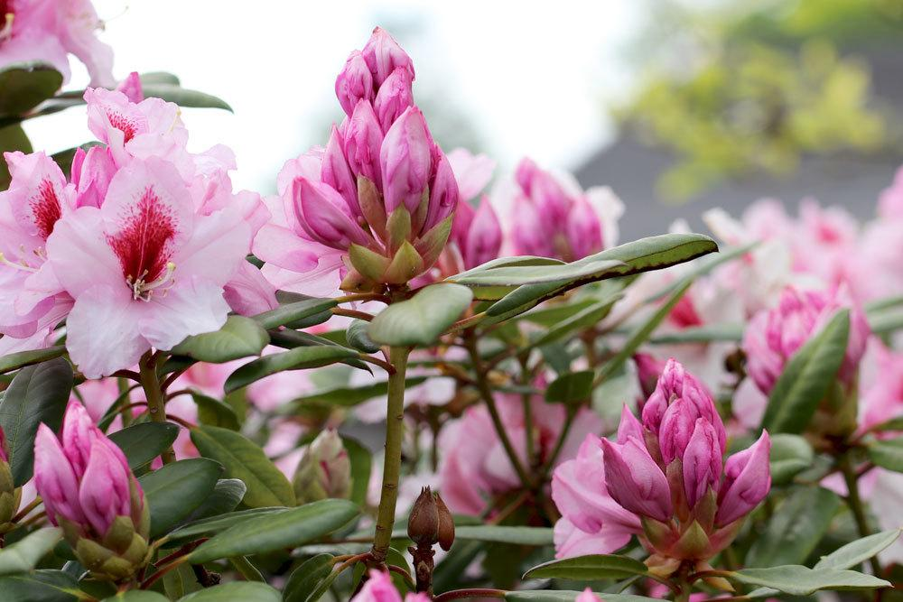 Rhododendron mit rosa Blütenfarbe