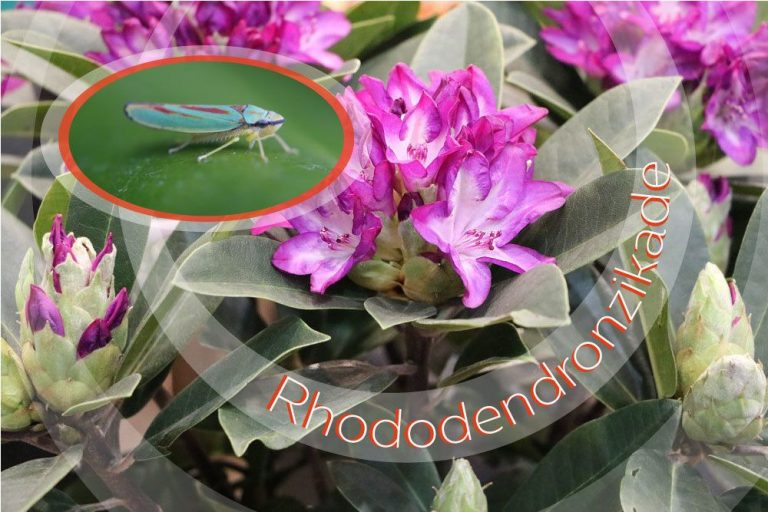 Rhododendronzikade bekämpfen