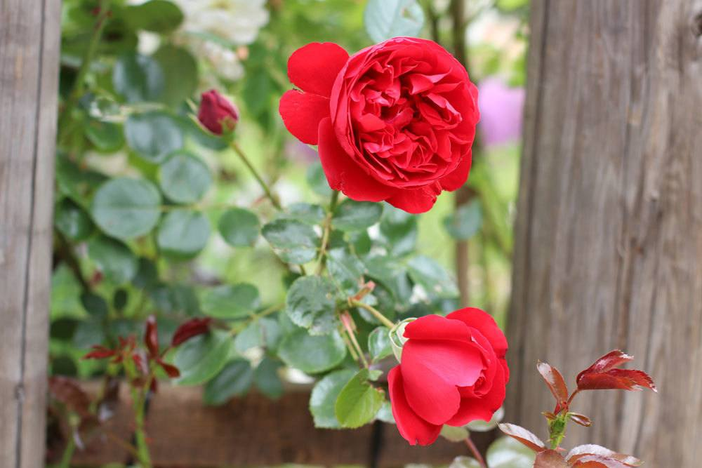 rot-blühende Rose