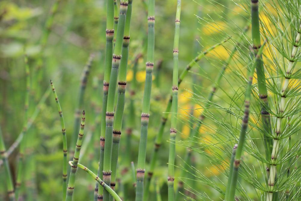 Winter-Schachtelhalm, Equisetum hyemale