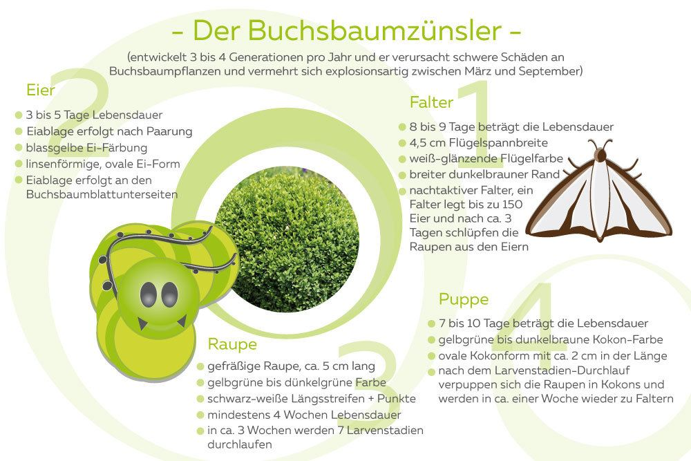 Buchsbaumzünsler Info-Grafik