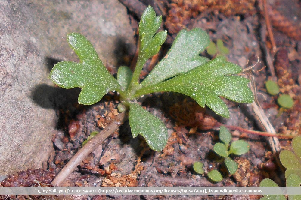 Grönland-Margerite, Arctanthemum arcticum