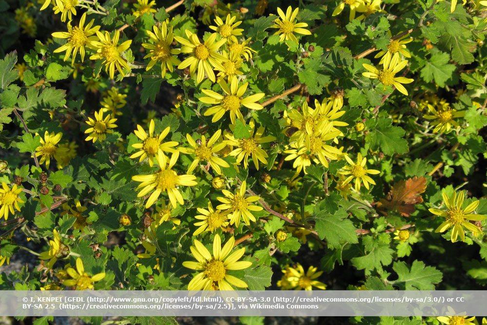 Herbst-Chrysantheme, Chrysanthemum indicum
