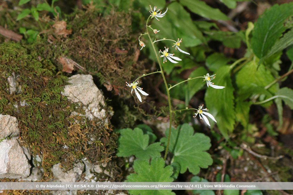 Herbst-Steinbrech, Saxifraga cortusifolia