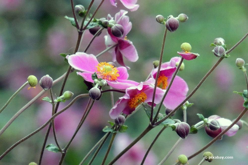 Herbstanemone, Anemone japonica als Grabbepflanzung