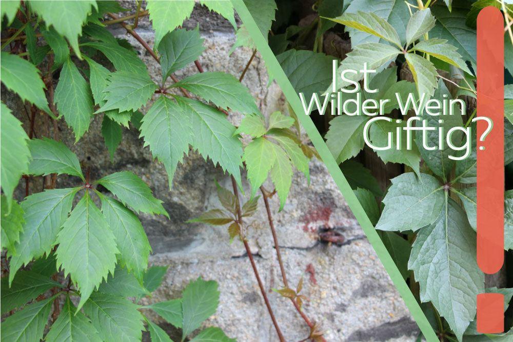 Wilder Wein giftig