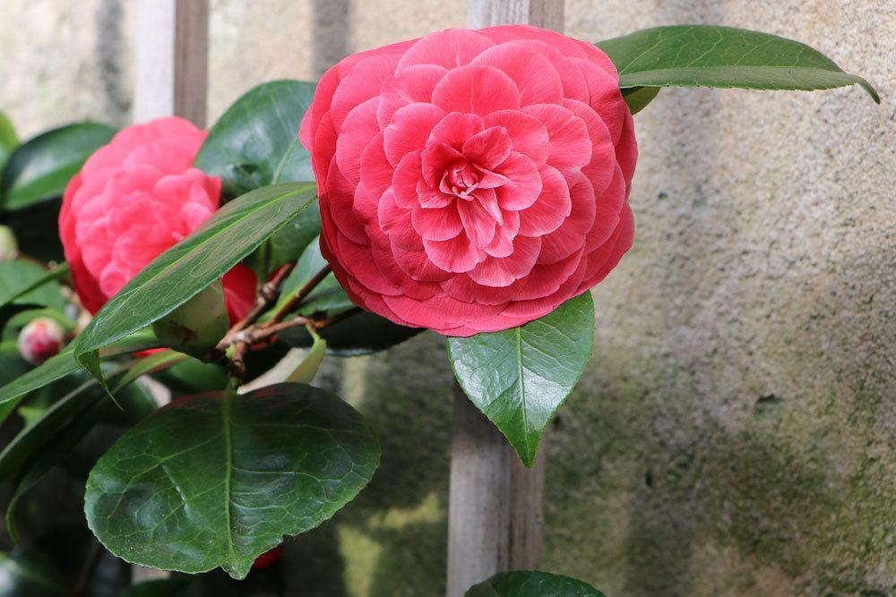 Kamelie, Camellia japonica