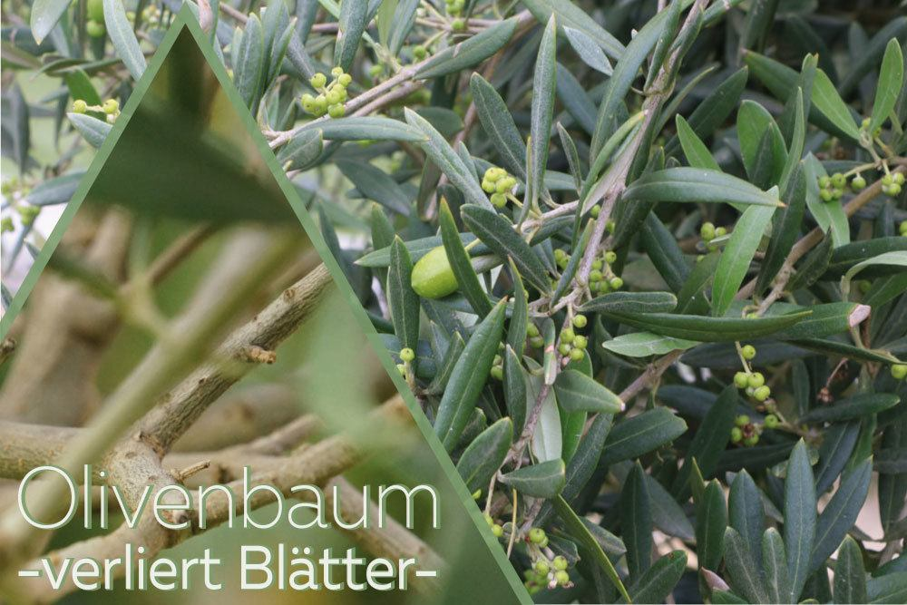 Olivenbaum verliert Blätter