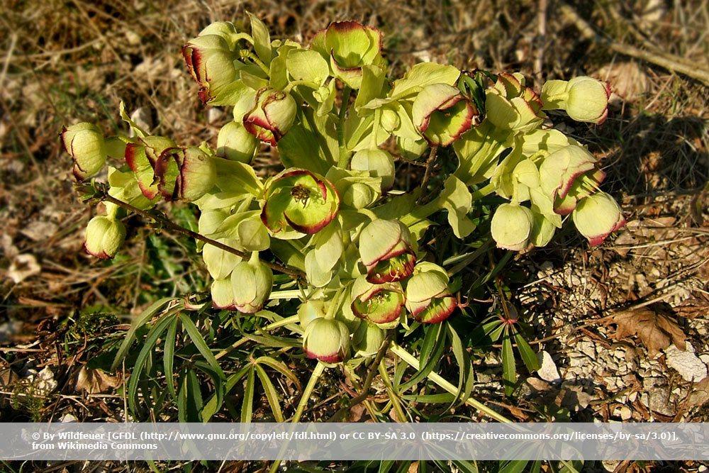 Palmblatt Schneerose, Helleborus foetidus