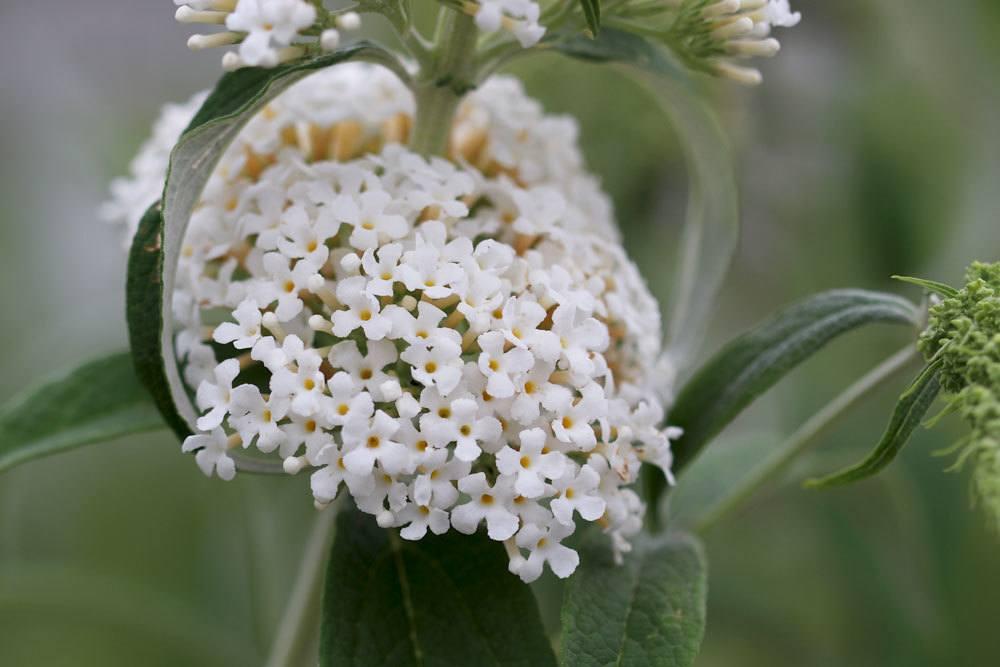 Weißer Schmetterlingsstrauch, Buddleja albiflora