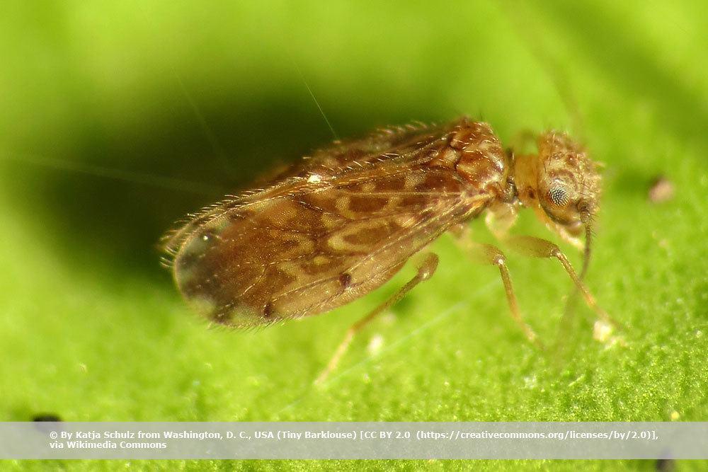 Staublaus, Psocoptera