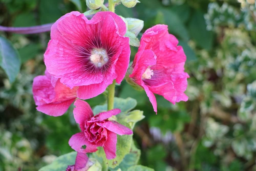 Stockrose, Alcea rosea