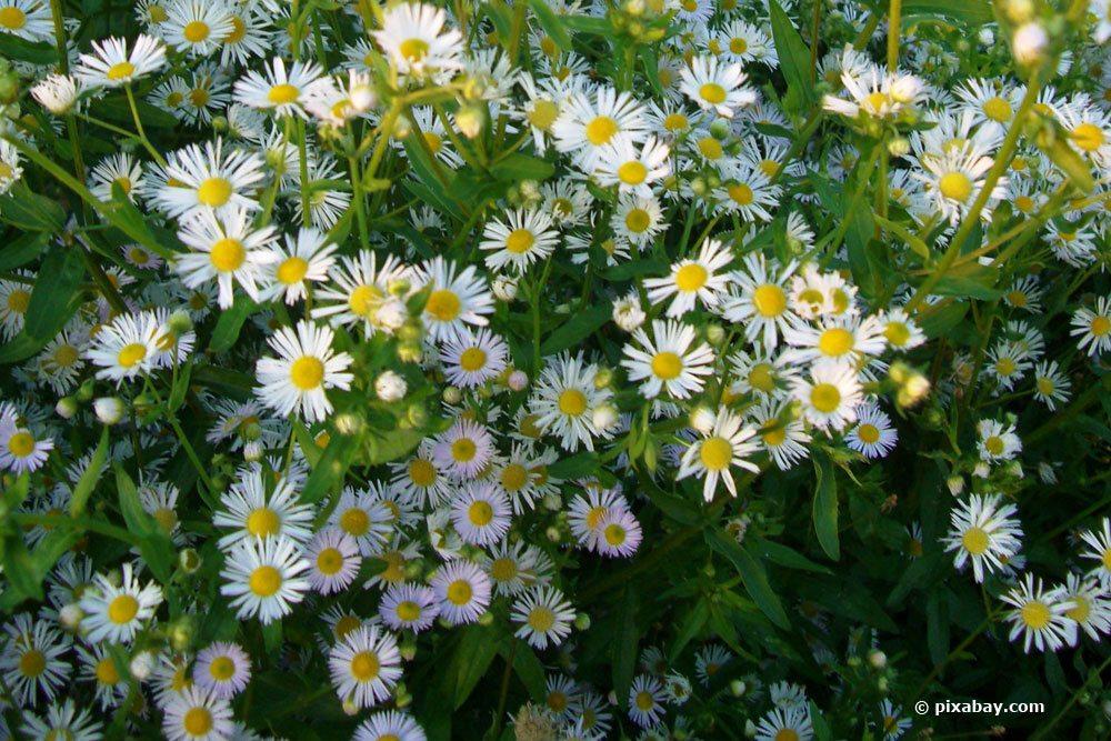 Teppich-Myrten-Aster, Aster ericoides