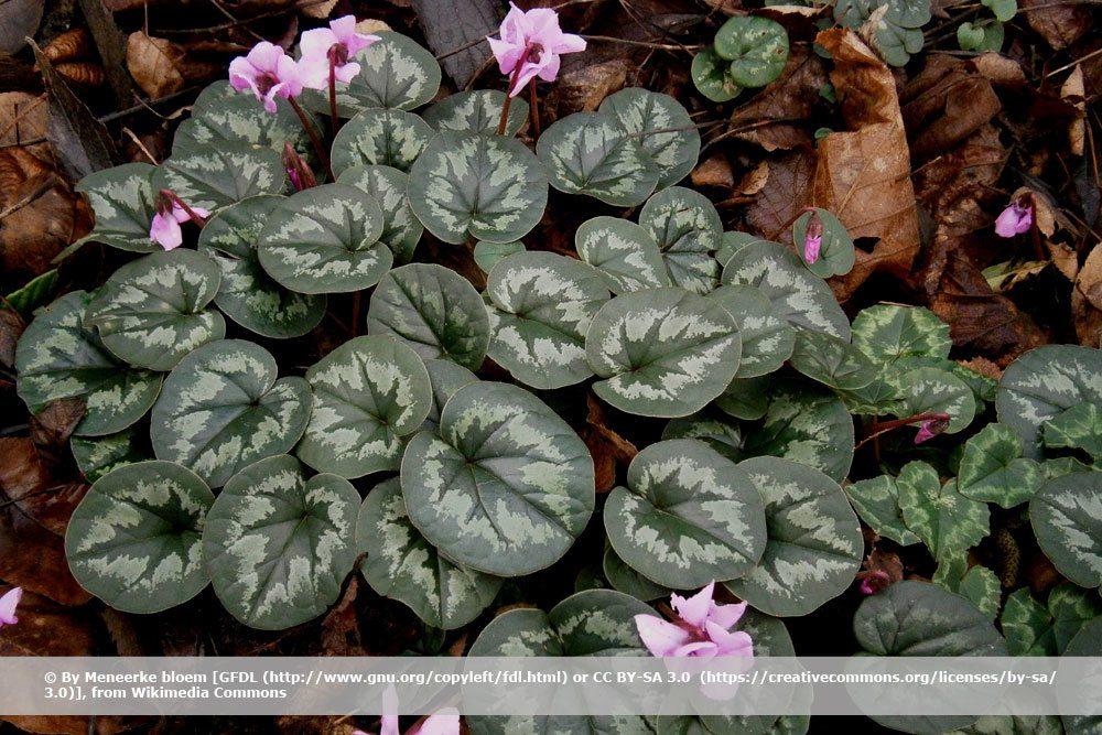 Vorfrühlings-Alpenveilchen, Cyclamen coum