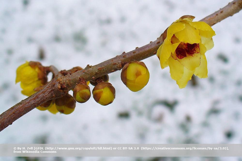 Chinesische Winterblüte, Chimonanthus praecox