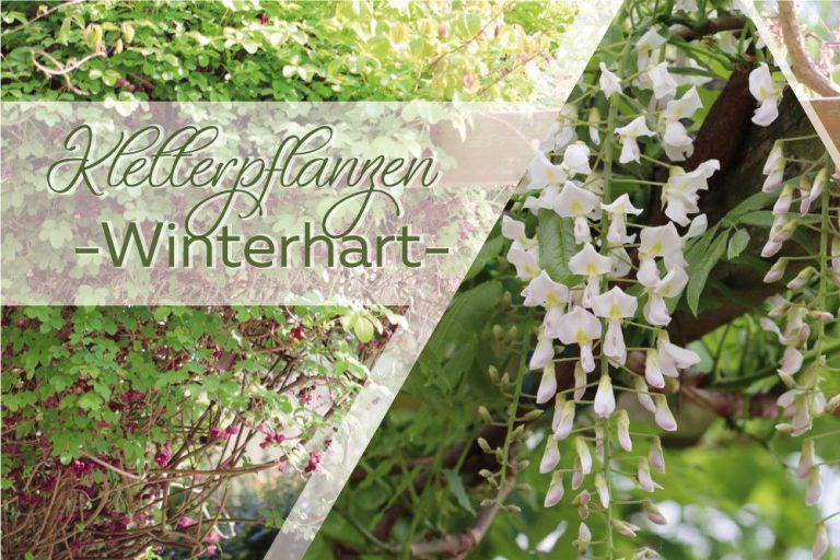 winterharte Kletterpflanzen