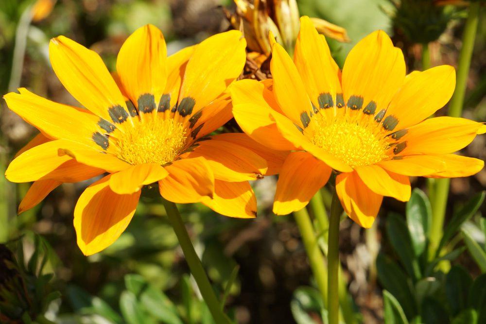 2 Blüten einer Gazanie