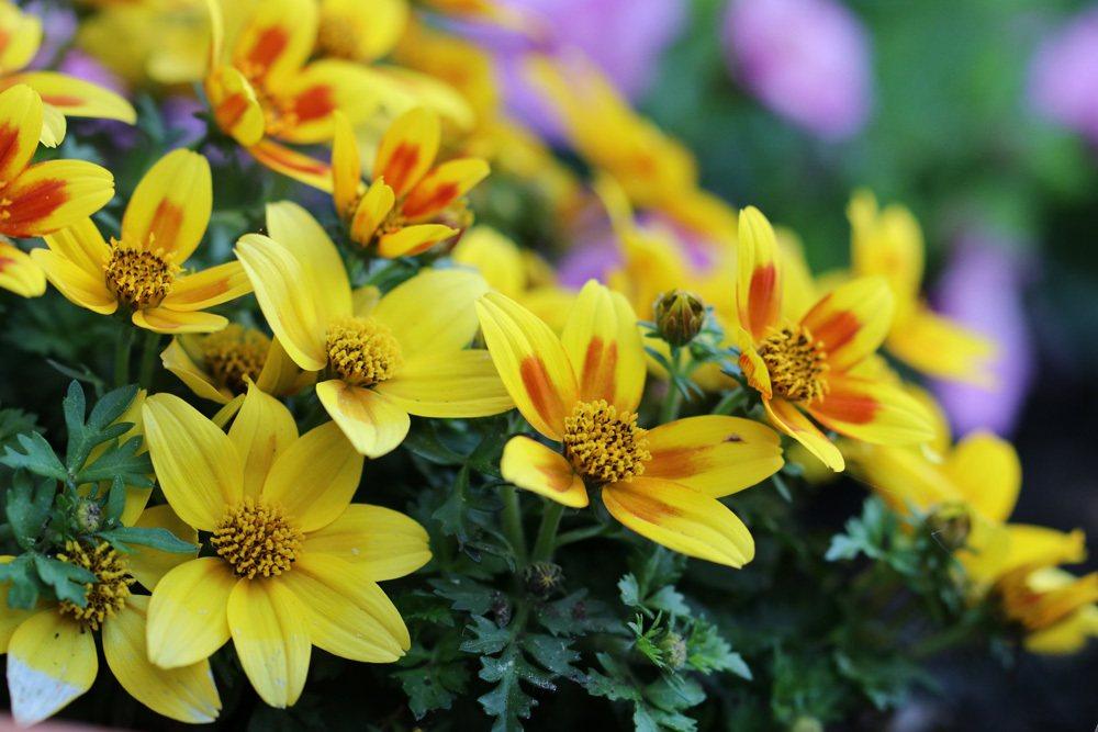 Goldmarie Blüten gelb rot