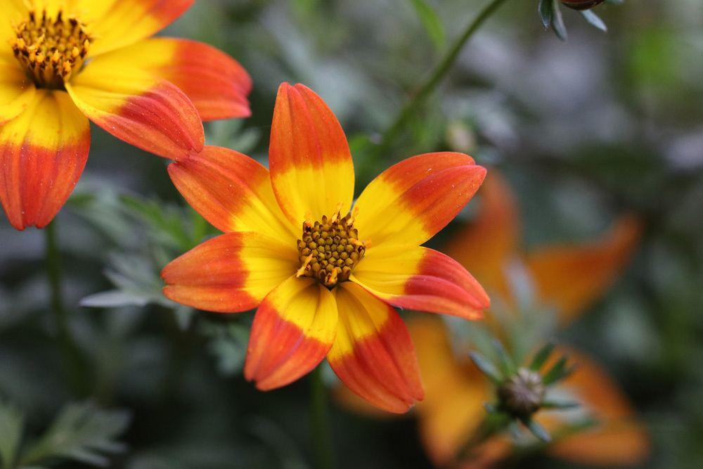 Goldmarie Orangerot