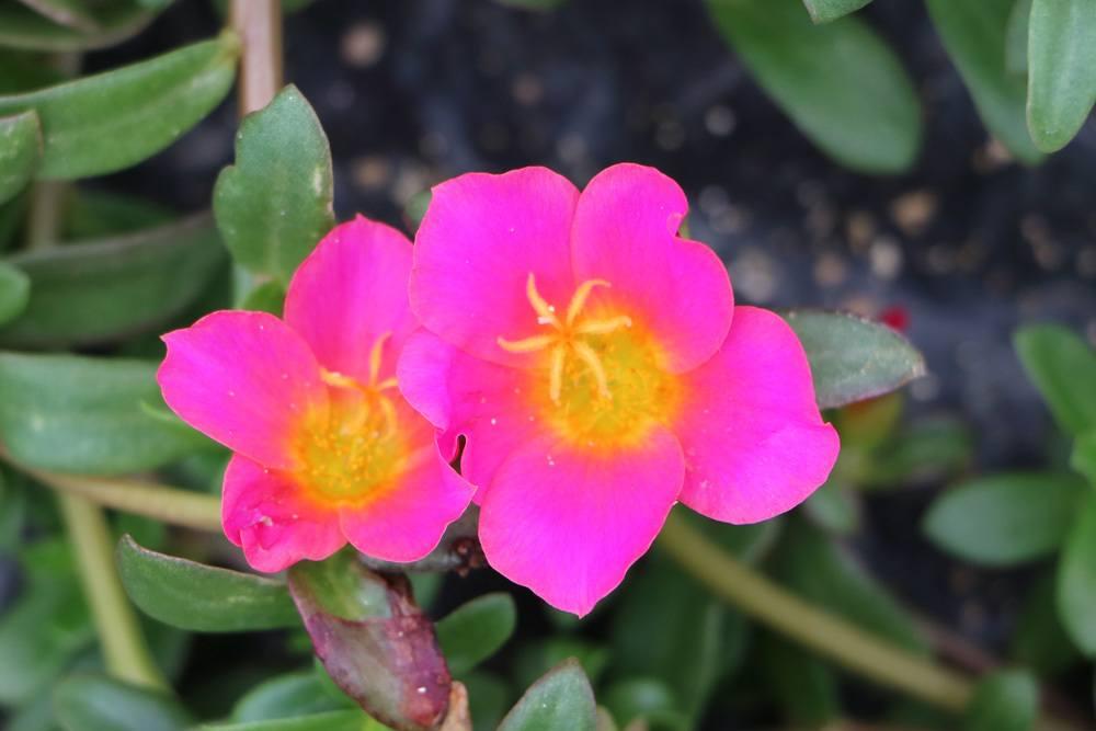 Portulakröschen Portulaca grandiflora