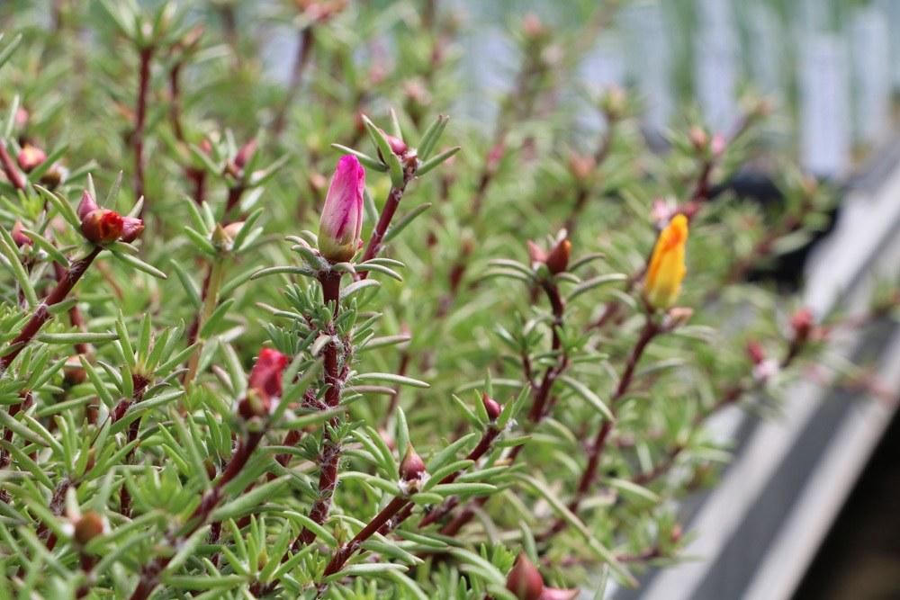 Portulakröschen Blüten geschlossen