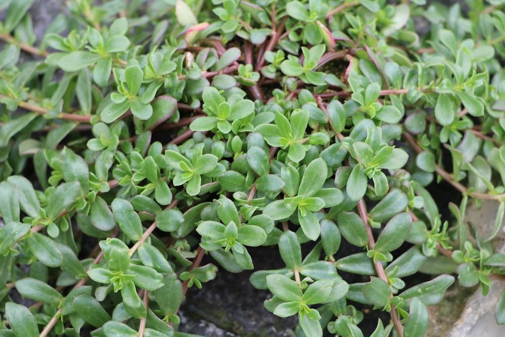 Portulakröschen Blätter