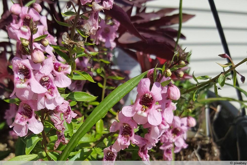 Engelsgesichtblume - Angelonia angustifolia