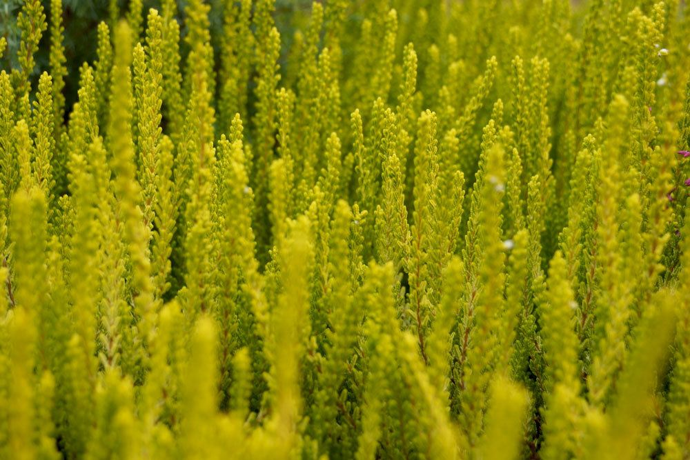 Besenheide, Sommerheide, Calluna vulgaris