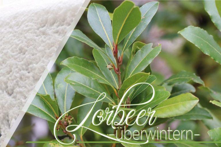 Lorbeer, Laurus nobilis