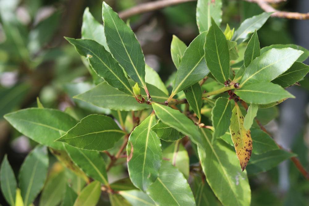 Laurus nobilis wird auch Mediterraner Lorbeer genannt