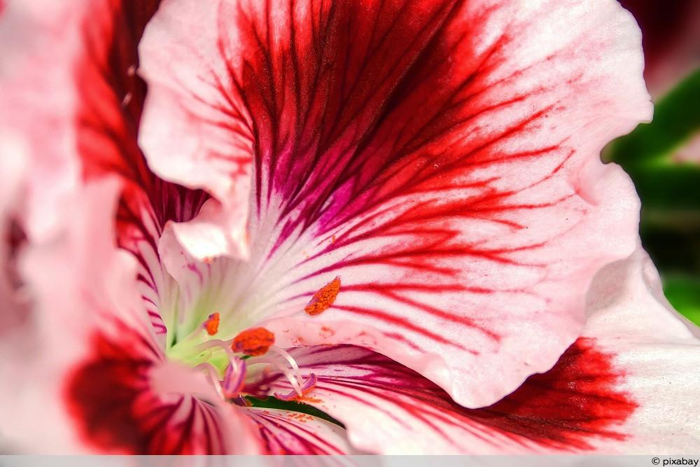 Edelgeranie - Pelargonium grandiflorum