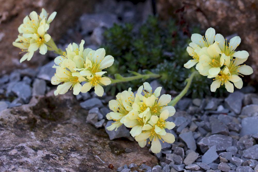 Elfenbein-Steinbrech, Saxifraga apiculata