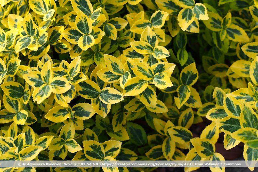 Gelbbunte Kriechspindel, Euonymus fortunei 'Gold Tip'