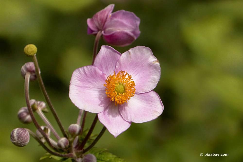 Herbst-Anemone, Anemone hupehensis
