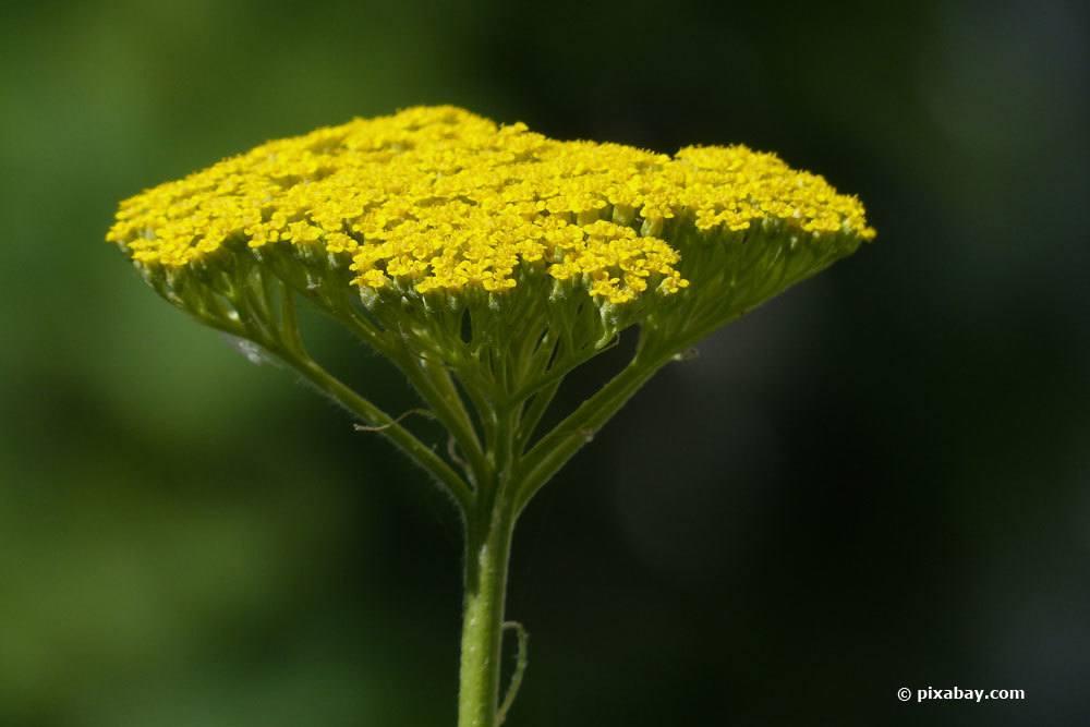 Hohe-Gold-Garbe, Achillea filipendulina