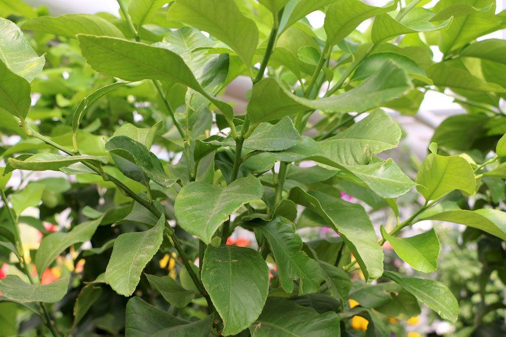 Orangenbaum verliert Blätter