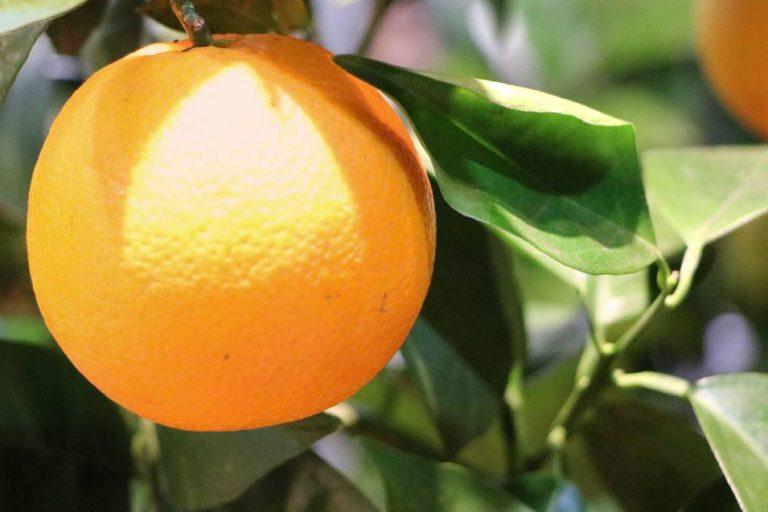 Orangenbaum, Citrus sinensis mit Orangenfrucht