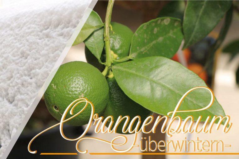 Orangenbaum, Citrus sinensis