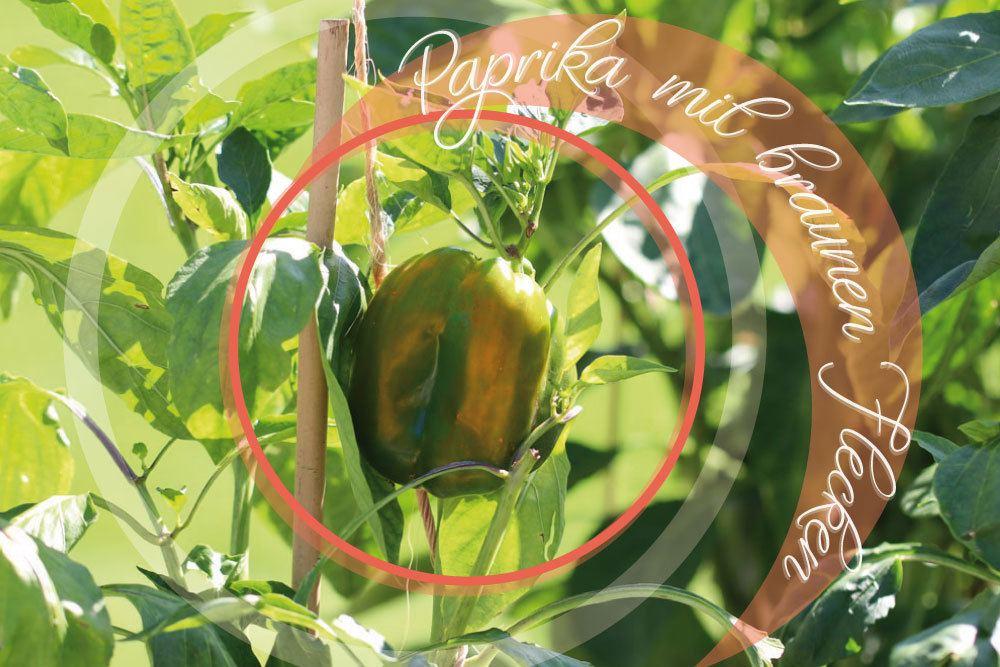 Paprika mit braunen Flecken
