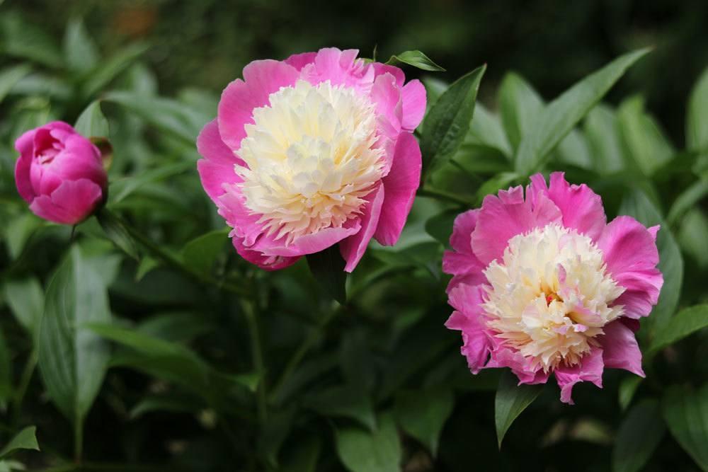 Pfingstrose, Paeonia lactiflora 'Cora Stubbs'
